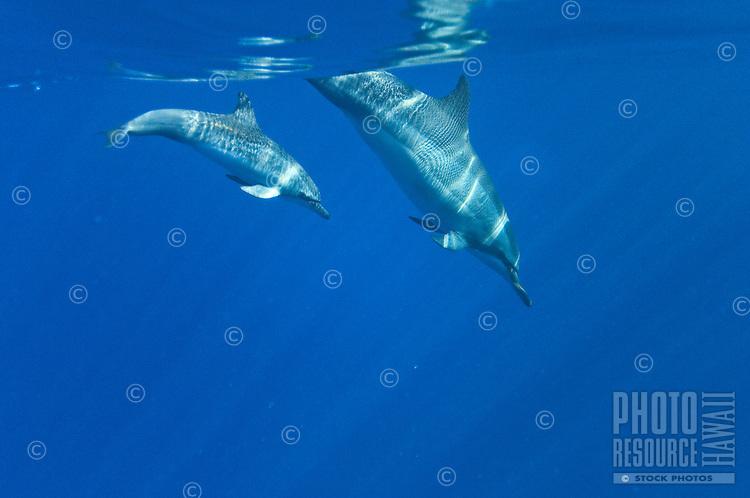 Hawaiian Spinner Dolphins; Stenella Longirostris