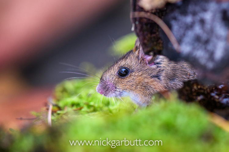Wood mouse (Apodemus sylvaticus). Aigas Field Centre, near Inverness, Scotland.