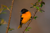 Male Northern Oriole (Icterus galbula).  Great Lakes Region.  May.