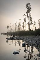 Native trees, kahikatea, in fog at Lake Wahapo at sunrise, Westland Tai Poutini National Park, West Coast, UNESCO World Heritage Area, New Zealand, NZ