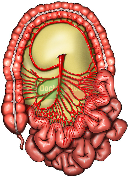 Large and small intestines(bowels) with blood vessels. The image reveals the blood supply to the abdomen, including the jejunum, ileum, ascending colon, transverse colon, descending colon, the appendix, as well as the greater omentum which covers the abdominal contents. The arterial supply to the abdomen originates from the superior mesenteric artery. This image is intentionally left unlabeled to accommodate custom label requests.