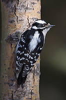 Female Hairy Woodpecker perched on a tree
