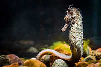 Pacific Ocean seahorse, Hippocampus ingens, range: Colombia, Costa Rica, Ecuador, El Salvador, Guatemala, Mexico, Panama, Perus and the west coast of the United States, c