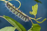 Pfauenspinner, Neoris huttoni, Raupe, Saturnia huttoni, Saturnia naessigi ssp. shadulla, saturniid, caterpillar, Saturniidae, Pfauenspinner, Saturniinae, saturniids