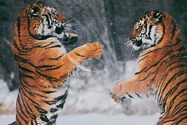 Siberian Tigers sparring.