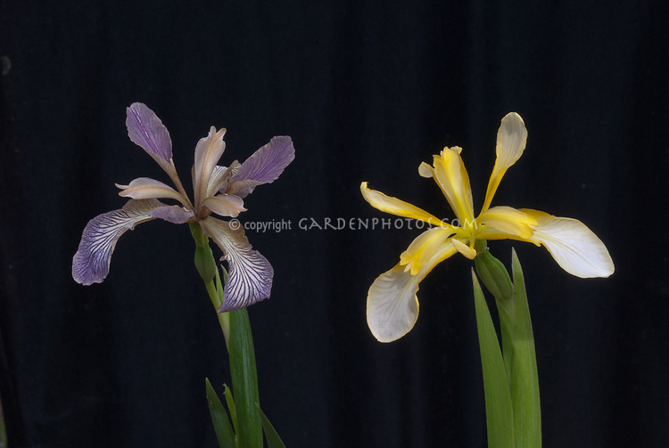 Iris foetidissima, two forms, bluish at left, clear yellow at right