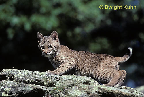 MA26-064z  Bobcat - young - Felis rufus