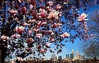 Spring flowers bloom near downtown Charlotte, NC, in early 2010. Charlotte skyline photography by Patrick Schneider Photo.com.