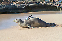 Hawaiian monk seal, Neomonachus schauinslandi, heads toward the ocean after attachment of a Crittercam and tracking instrumentation package by NOAA researchers during Ho Ike a Maka Project; west end of Molokai, Hawaii, photo taken under NOAA permit 10137-6