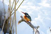 Eisvogel, im Winter bei Schnee und Eis, Eis-Vogel, Eisvögel, Alcedo atthis, Kingfisher, Martin-pêcheur d'Europe