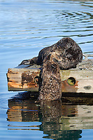Sea Otter (Enhydra lutris) lifting young pup onto boat dock.