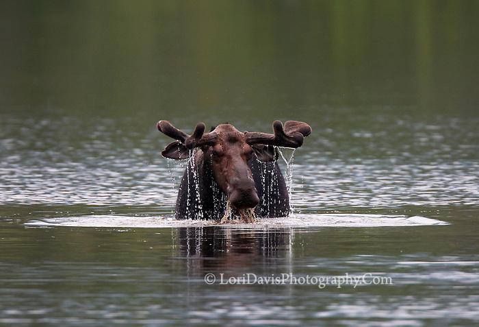 Bull Moose in Velvet, Grazing in Pond  #M67
