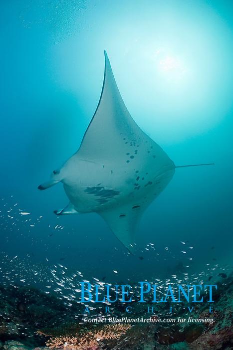 reef manta ray, Mobula alfredi, swims over patch reef with schooling fish, Hanifaru Bay entrance, Hanifaru Lagoon, Baa Atoll, Maldives, Indian Ocean