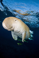 Dugong, Sea Cow, breathing on the surface, Egypt, Red Sea, Indian Ocean