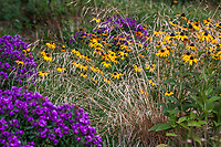 Deschampsia caespitosa, Tufted Hair Grass with Rudbeckia fulgida, Showy Black-eyed Susan and 'Purple Dome' Asters in Colorado prairie garden; Scripter garden, design Lauren Springer Ogden