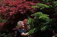 BNPS.co.uk (01202 558833)<br /> Pic: ZacharyCulpin/BNPS<br /> <br /> Blenheim in bloom...<br /> <br /> Head Gardener, Hilary Wood amongst the colourful Mapels.<br /> <br /> One of Britain's most historic stately homes is expecting a bumper year for its stunning roses with some already in full bloom.<br /> <br /> Blenheim Palace, the birthplace of Sir Winston Churchill, is currently closed to visitors due to the coronavirus pandemic so this might be the only chance to see some of their stunning floral displays.<br /> <br /> With a reduced team of gardeners tending to the formal gardens and 2,000 acres of Capability Brown-landscaped parkland, there is little time for staff to stop and smell the roses.<br /> <br /> But if they could there is a spectacular climbing rose called Dreaming Spires, which grows up the walls of the Palace's orangery, that is already in full bloom and its 'wonderwall' of wisteria is also looking incredible.