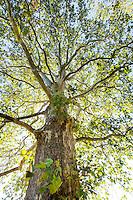 Platanus x acerifolia - London Planetree; Arnold Arboretum