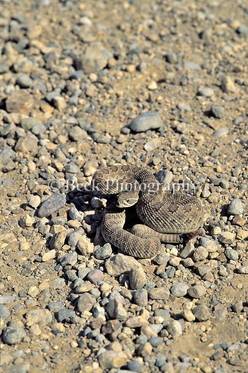 Rattle snake, Montana