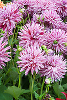 Semi Cactus Dahlia 'Blackberry Ripple' with striped streaked pink and white bicolor flowers