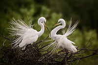 A male egret presents a branch for the nest to his mate at Smith Oaks Rookery near High Island, Texas
