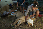 African Lion (Panthera leo) veterinarian, Kambwiri Banda, and biologists, Jonah Gula, Milan Vinks, and Caz Sanguinetti, collaring six year old female lion, Kafue National Park, Zambia