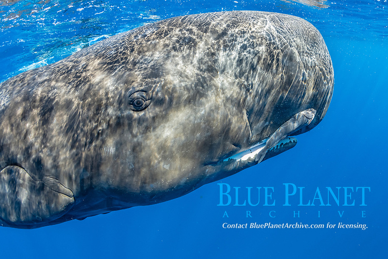 Portrait of a sperm whale, Physeter macrocephalus, The sperm whale is the largest of the toothed whales Sperm whales are known to dive as deep as 1,000 meters in search of squid to eat Image has been shot in Dominica, Caribbean Sea, Atlantic Ocean Photo taken under permit #RP 16-02/32 FIS-5