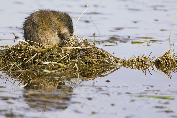 Muskrat building a mound of weeds