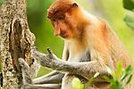 Proboscis Monkey (Nasalis larvatus) female looking at hand, Sabah, Borneo, Malaysia