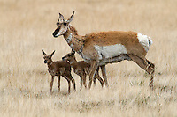 A newborn pronghorn (Antilocapra americana) might weigh 2-4 kg, most commonly 3 kg. In their first 21-26 days, a fawn spends time hiding in vegetation. Fawns interact with their mothers for 20-25 minutes a day and this continues even when the fawn joins a nursery. The females nurse, groom, and lead their young to food and water as well as keep predators away from them. Males are weaned 2-3 weeks earlier than females. Their longevity is typically up to 10 years, rarely 15 years.