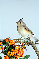 Alert tufted titmouse looks up from its perch on a snowy branch with orange pyracantha berries, Maine USA