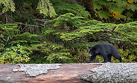 A black bear cub follows its mother across a log.