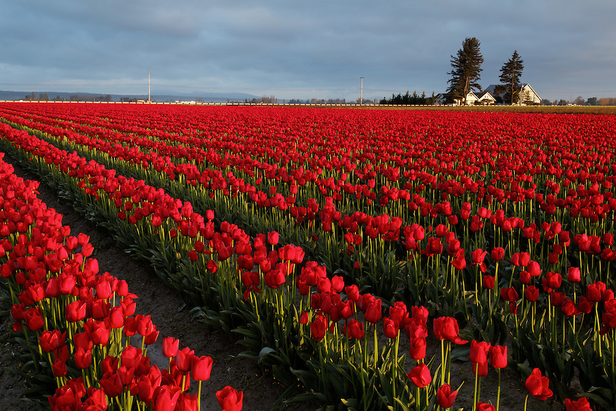Rows of red tulips, Skagit Valley, Mount Vernon, Washington