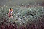 Red Fox standing in grass.