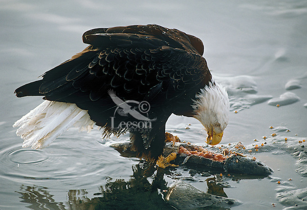 Bald Eagle (Haliaeetus leucocephalus) feeding on salmon along edge of river.  Pacific Northwest.  Winter.