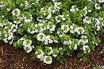 SCAVEOLA AERNULA SURDIVA WHITE, PALMFLOWER
