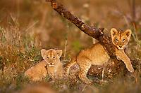 African lion cubs (Panthera leo), Masai Mara National Reserve, Kenya, Africa.