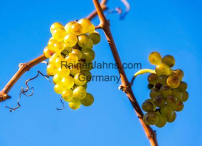 Italy, Alto Adige - Trentino (South Tyrol), Eppan: grapes at famous wine growing region strada del vino | Italien, Suedtirol, Eppan suedlich von Bozen, Weinreben an der Weinstrasse