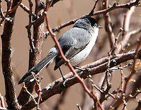 Adult male black-tailed gnatcatcher in breeding plumage