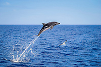 Spotted Dolphin, Stenella frontalis, Leaping juvenille with remora, Pico-Azores-Portugal, Atlantic Ocean
