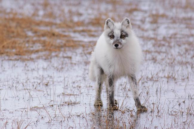 Adult Arctic Fox (Vulpes lagopus) in the process of shedding its winter coat. Barrow, Alaska. June.