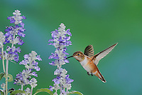 Rufous Hummingbird (Selasphorus rufus),  young male in flight feeding on Blue Sage (Salvia sp.), Gila National Forest, New Mexico, USA
