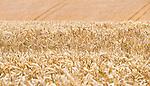 Field of wheat at Kingsdown, New Zealand