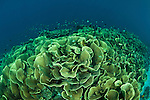 Vast fields or colonies of lettuce corals (Turbinaria sp.).