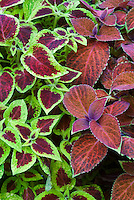 Solenostemon (Coleus) 'Briarwood Beauty' right and 'Wisley Promise' left
