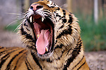 Tiger at the West Coast Game Park yawning Bandon, Oregon State USA