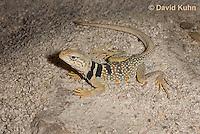 0612-1007  Great Basin Collared Lizard (Mojave Black-collared Lizard), Mojave Desert, Crotaphytus bicinctores  © David Kuhn/Dwight Kuhn Photography