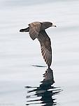Albatrosses, Shearwaters, Petrels and allies