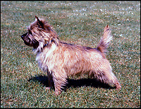 BNPS.co.uk (01202 558833)<br /> Pic: KennelClub/BNPS<br /> <br /> An adult Norwich Terrier, only 81 puppie were born last year. <br /> <br /> Has this breed of dog had its day?<br /> <br /> There are fears the otterhound, Britain's rarest breed of dog, is on the verge of extinction after just seven puppies were born last year.<br /> <br /> While the coronavirus lockdowns sparked record sales of puppies like Labradors and French Bulldogs, the same can not be said for some traditional British species.<br /> <br /> Chief among them is the otterhound, one of Britain's oldest breeds that dates back to the 12th century.