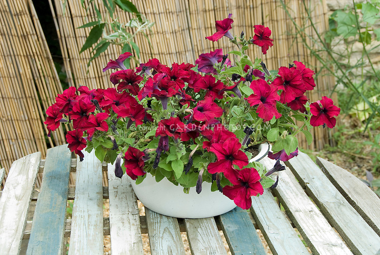 Simple rustic enamel pot container planter of red petunias on faded wooden round table, with woven privacy screen