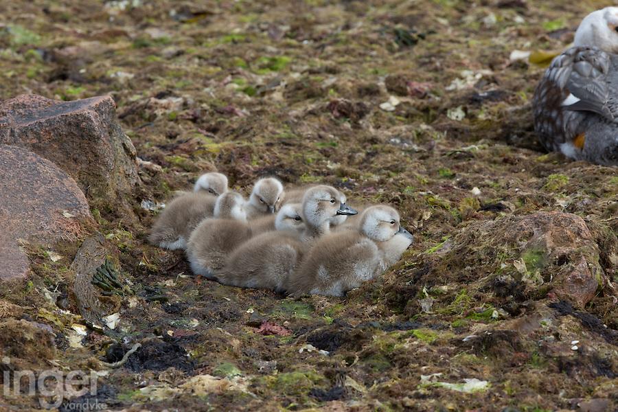 Falkland Islands Flightless Steamer Duck ducklings near Stanley, the Falkland Islands